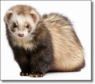Picture of a ferret