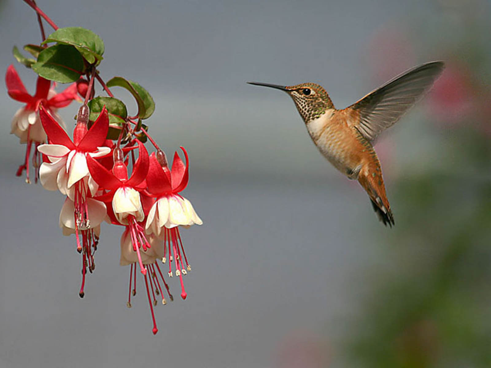 wallpapers: Hummingbird Wallpapers