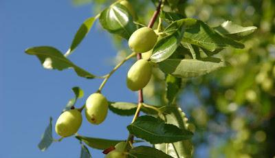 Foto pohon dan buah bidara