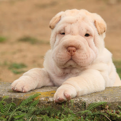 Puppies - like this cute Shar Pei - must be socialized to be calm, friendly, adult dogs. Here's the classic research that showed this - and what it means for you.