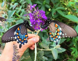 Тим Уонг, е да презасели тази пеперуда