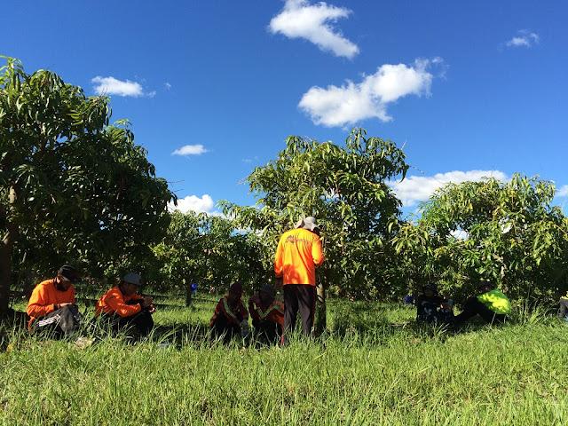 mango farm dimbulah