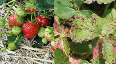Preventing Strawberry Plant diseases