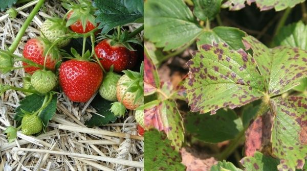 Strawberry Plant diseases and Preventing