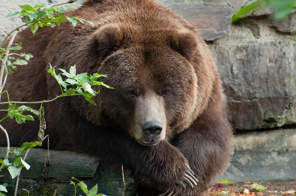 <b>Grizzly Bear</b> Kölner Zoo
