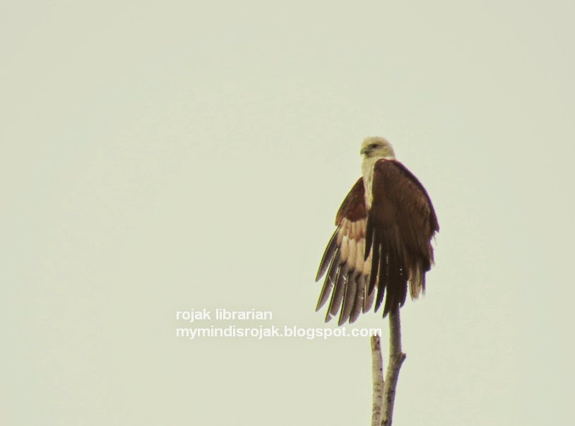Brahminy Kite in Tampines Eco Green