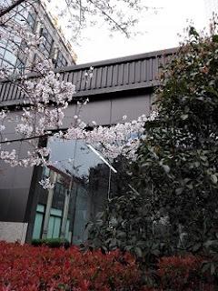 淋しくも奇麗に咲いた上海の桜