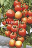 tomat servo, cap panah merah, tomat tahan virus, menanam tomat, jual benih tomat, toko pertanian, toko online, lmga agro