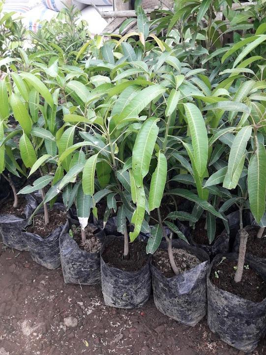 Paket 4 Bibit Mangga super kiojay yuwen irwin garifta merah Kalimantan Timur
