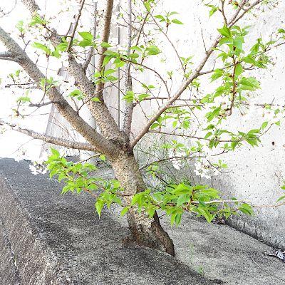 2020ど根性桜