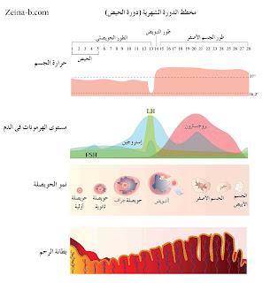الدورة الشهرية، مخطط حدوث الدورة الشهرية عند النساء
