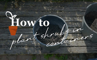 Plant shrubs in containers