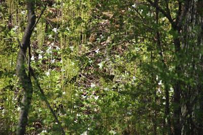 local trillium in bloom