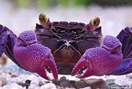 Vampire Crabs: Pet Crab