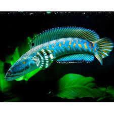 Ikan channa pulchra