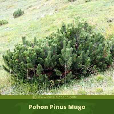 Ciri Ciri Pohon Pinus Mugo