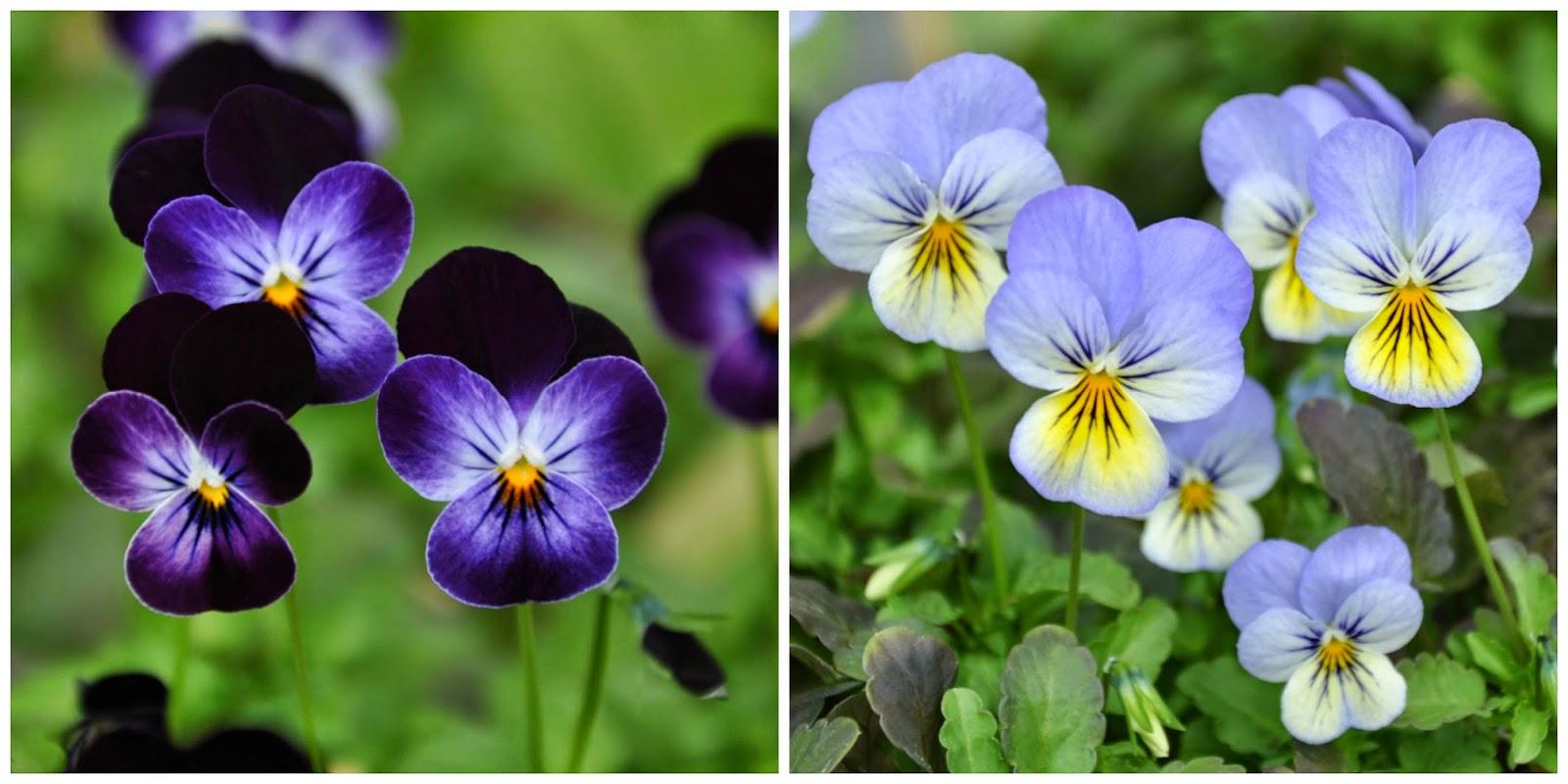 Viola cornuta Sorbet Phantom and Viola cornuta Blueberry Cream