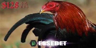 Adu Ayam Sampai Mati