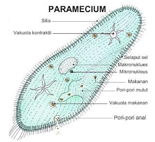 Ciri Ciri Paramecium