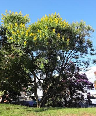 cássia_do_nordeste_com _flores_amarelas_no _jardim