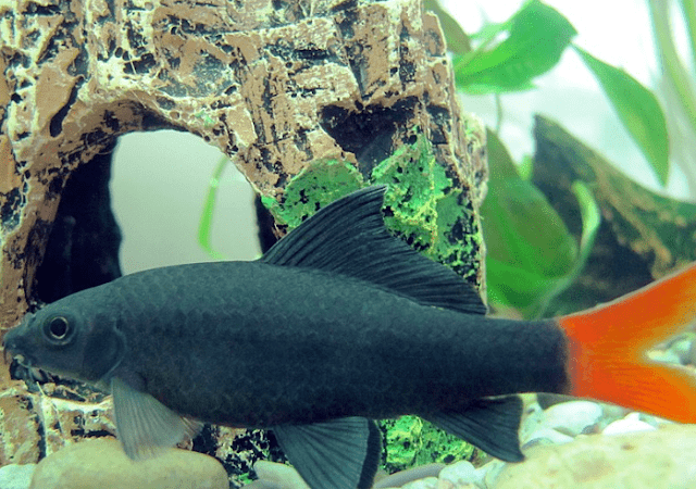 ikan redfin red tailed black