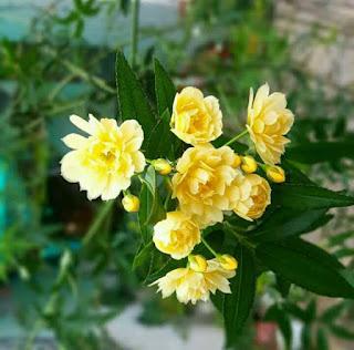 hoa hồng banksiae leo màu vàng