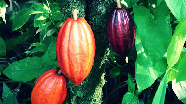 Buah Kakao, Cokelat