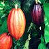 Manfaat Buah Kakao Mengobati Penyakit Kardiovaskular