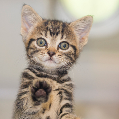 tabby kitten holding up right paw