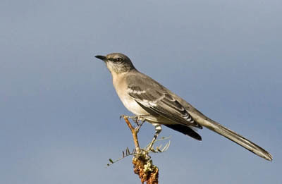 Photo of Northern Mockingbird in tree top