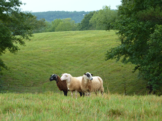 Image of three sheeps