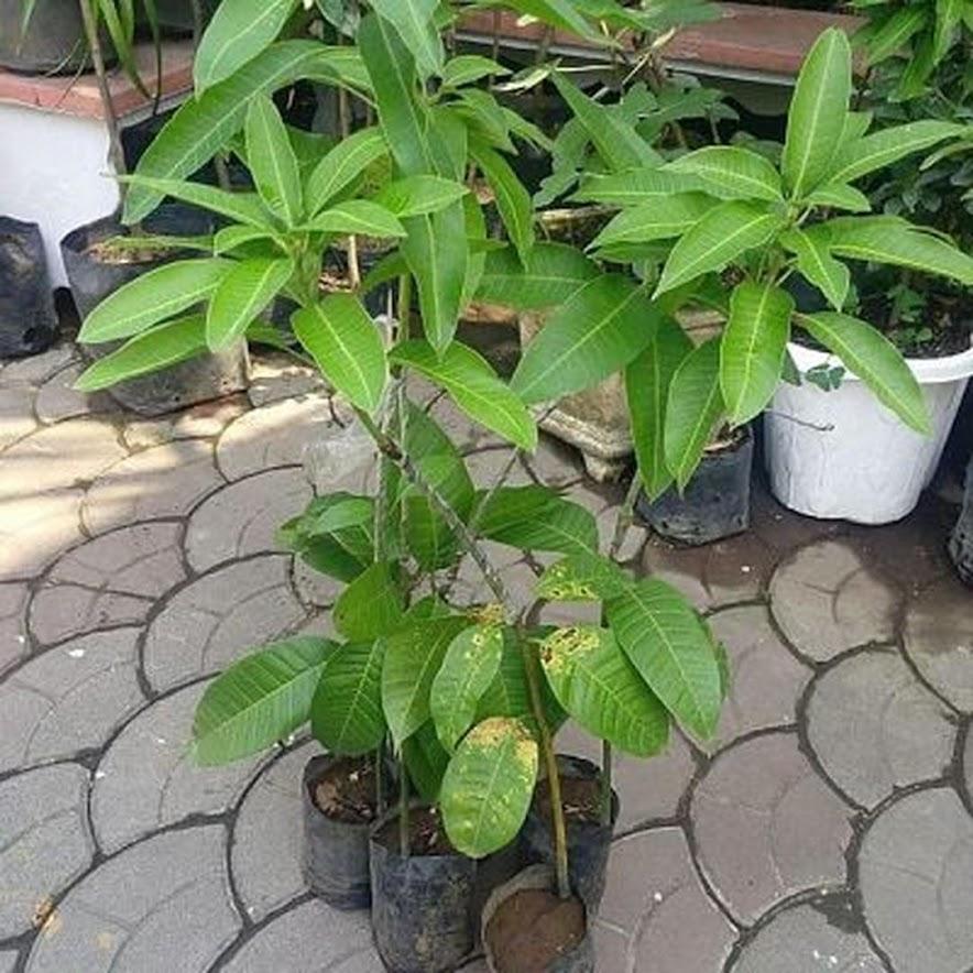 Bibit mangga alpukat hasil stek okulasi cepat berbuah Bangka Belitung