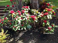 Crown of thorns, Foster Botanical Garden - Honolulu, HI