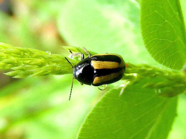 Turnip Flea Beetle Phyllotreta nemorum, Indre et Loire, France. Photo by Loire Valley Time Travel.