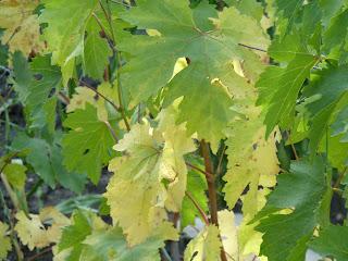 виноградные кусты осенью