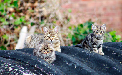 tabby cat and two tabby kittens sitting on shed roof