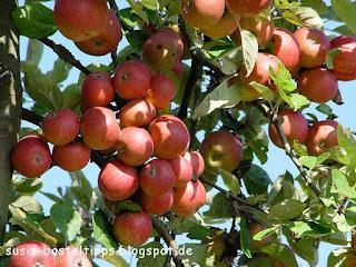 rote Äpfel am Baum, Foto von unabh. Stampin' Up! Demonstratorin in Coburg