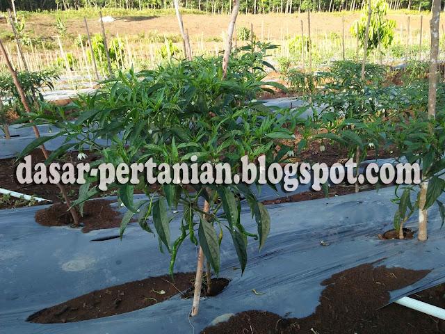 Memiliki tanaman cabai yang berbuah maksimal ialah impian semua petani cabai Beberapa Faktor Yang Menyebabkan Tanaman Cabai Tidak Berbuah Secara Maksimal