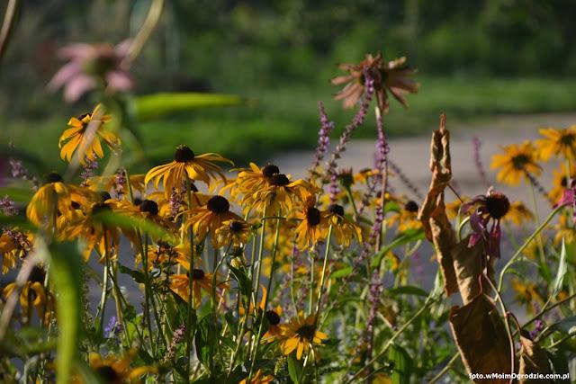 rudbekie, jeżowka purpurowa, szalwia rózówa