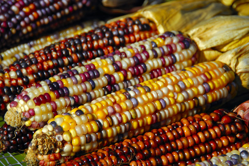 hindu single men in corn Corn, (zea mays), also called indian corn or maize, cereal plant of the grass family and its edible grain the domesticated crop originated in the americas and is one of the most widely distributed of the world's food crops corn is used as livestock feed, as human food, as biofuel, and as raw material in industry.