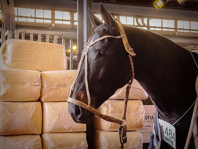 Cabeaza de caballo de polo.