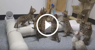 This Just One Thing Keeps 10 Bengal Kittens Mesmerized