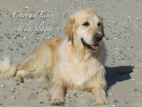 album photos golden retriever en baie de somme