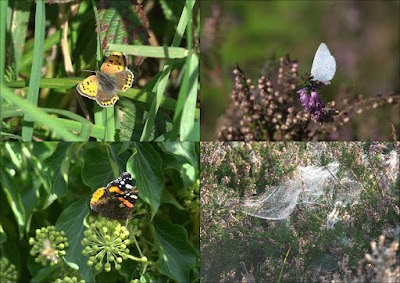 Butterflies and spider web at Cleaver Heath