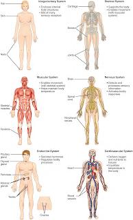 Anatomi Sistem Organ Terdiri Dari 11 Tingkatan