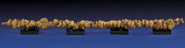 Kotoran Fosil Meter Panjang