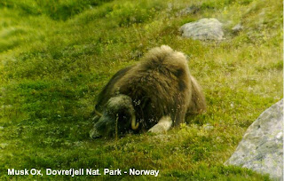 musk ox dovrefjell norway
