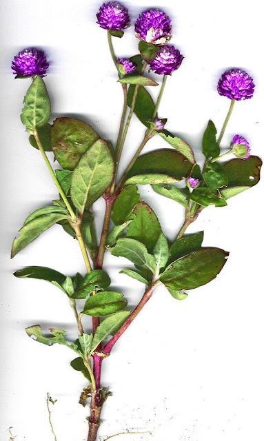 Cây Cúc Bách Nhật - Gomphrena globosa - Nguyên liệu làm thuốc Chữa Cảm Sốt