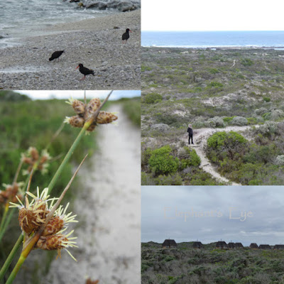 African black oystercatchers, hiking trail Willdenowia? restio, the line of chalets