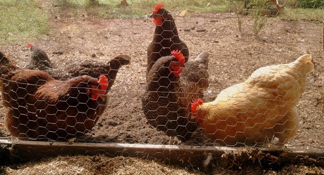Choosing the Right Fencing for your Chicken Coop, Run or
